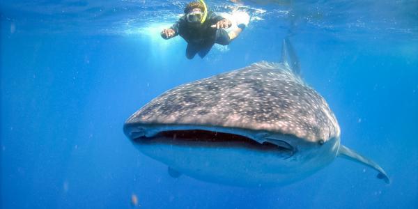 Snorkel Tiburón Ballena Mexico