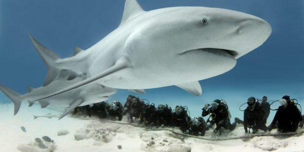 Buceo Tiburones Toros